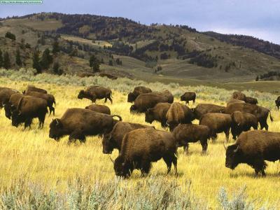 Una noche entre bisontes