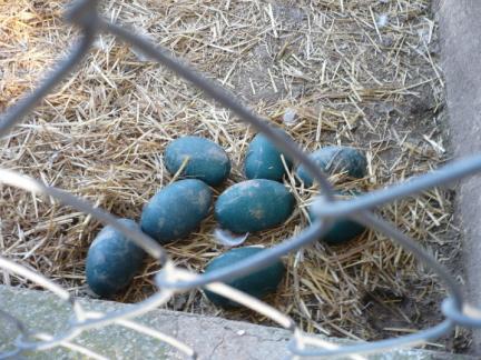 El caso del robo de los chufladores anti jabalí y los huevos del emú